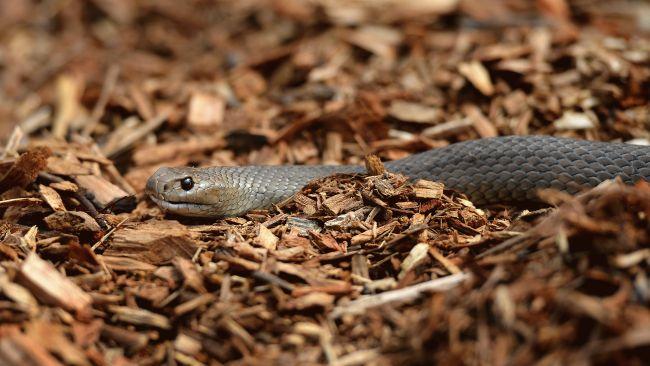brown-snake_650x366